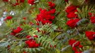 Rowan tree branches in autumn video