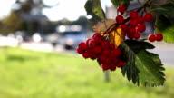 Rowan tree, defocused traffic background video
