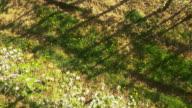 AERIAL Rows of apple trees video