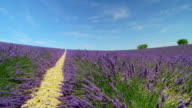 Rows of beautiful violet lavender field in sunny summer in Provence, France video