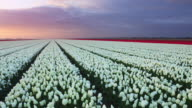 Rows of colourful tulips at sunrise in The Netherlands video