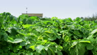 Rows of green potato tops in the field video