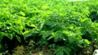 Rows of green potato tops video