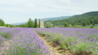 Rows of lavender field in front of old French style vintage stone house video