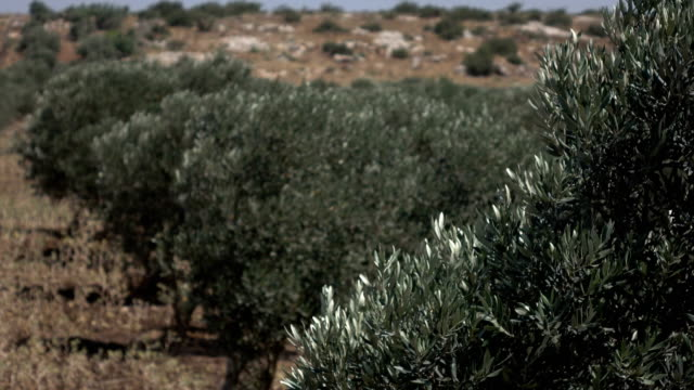 Rows of Old Olive Trees in Grove in Israel video