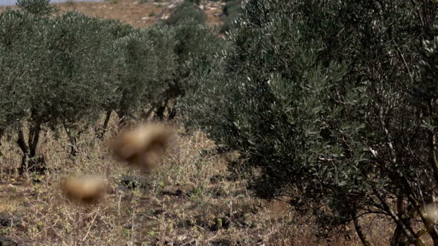 Rows of Olive Trees in Arid Landscape in Israel video