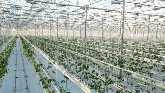 Rows of plants in a large greenhouse. The camera shoots from the top. video