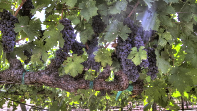 Rows of Ripe Grapevines video