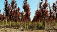 Rows of small Prunus cerasifera trees in young garden video