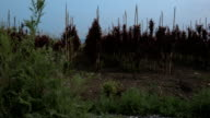 Rows of young Prunus cerasifera trees in evening garden video