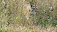 Royal Bengal Tiger video