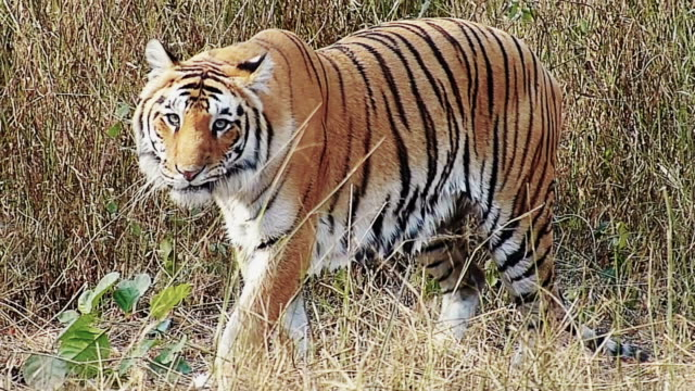 Royal Bengal Tiger video
