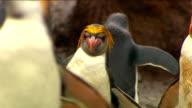 Royal Penguins HD video