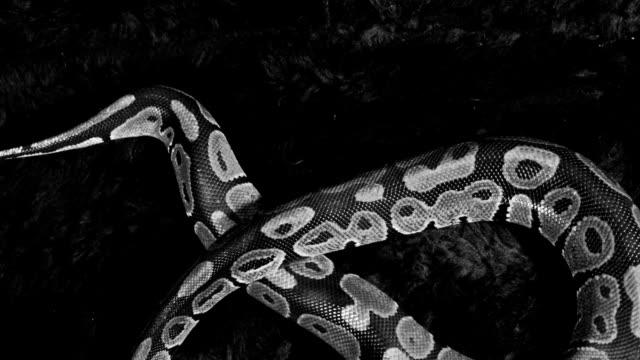 Royal Python Crawling video