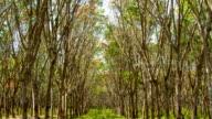 Rubber Plantation. Sunbeam shine through the rubber tree plantation. video