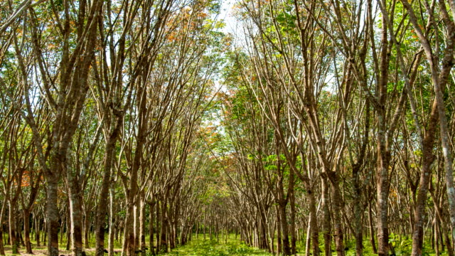 Rubber Plantation. Sunbeam shine through the rubber tree plantation. video