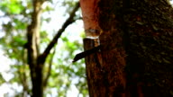 Rubber tapping,Slow motion video