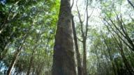 Rubber tree, Pan Camera Movement video