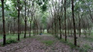 Rubber Tree Plantation, Phuket, Thailand video