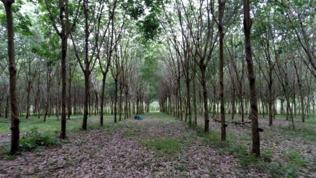 Rubber Tree Plantation, Phuket, Thailand video