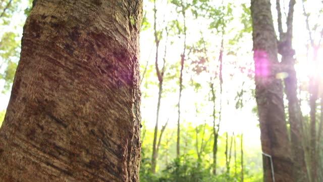Rubber tree video