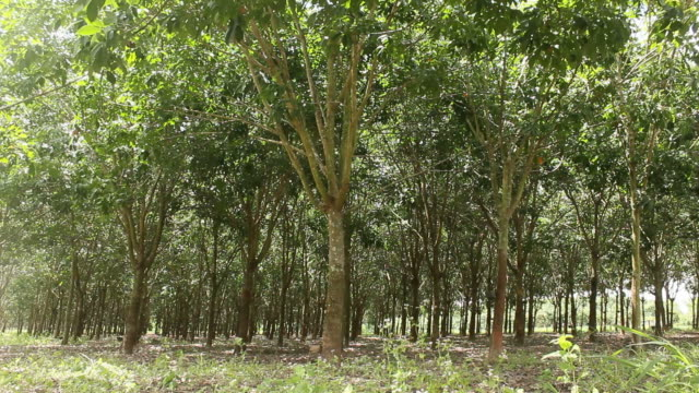 Rubber trees video