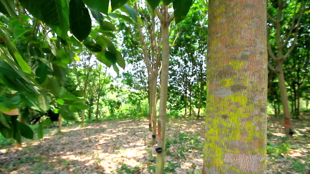 Rubber trees. video
