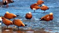 Ruddy Shelduck. Flock on the ice. video