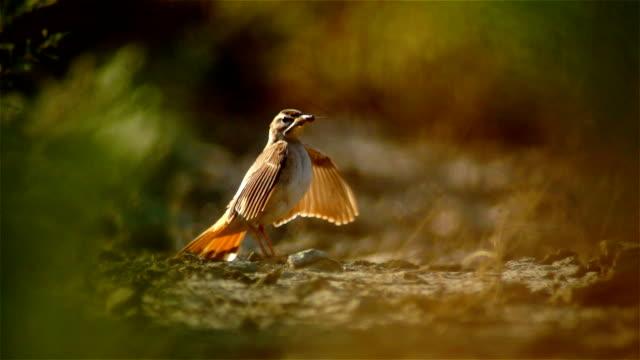 Rufous-tailed scrub robin video