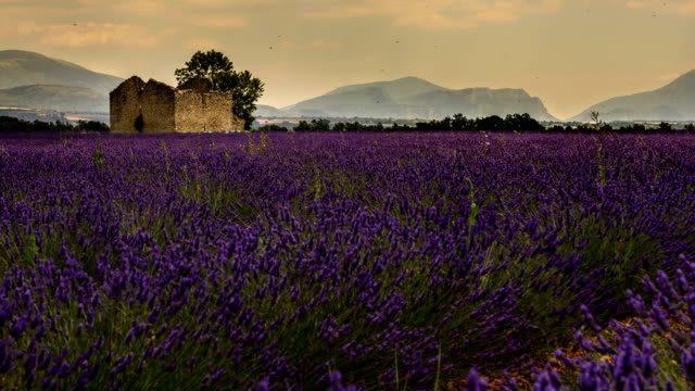 Ruined house in a field of lavender provence southern France time lapse video