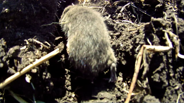 Running field vole video
