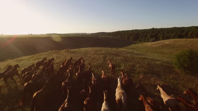 Running herd of horses. video