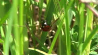 Running ladybug on the grass video