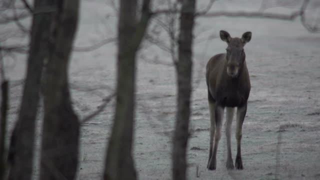 Running Moose (Eurasian elk) video