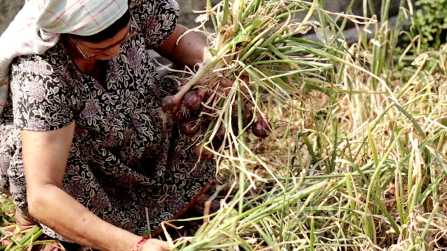 Rural Indian village women working topping and tailing harvested red onions by hand. video