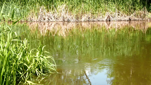 rural landscape, a lake with reeds growing on the banks video