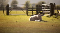 Rural sheep farm video