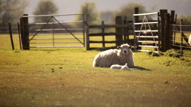 Rural sheep farm video
