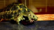 Russian Tortoise Eats Purple Leaves in Animal Area video