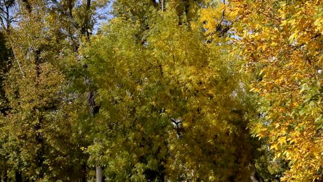 Rustling leaves of trees in a park in autumn video