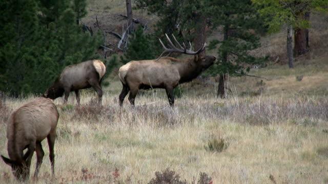 Rutting Bull Elk video