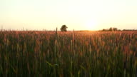 Rye field at sunset, shooting with crane video