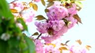 Sacura Blossom Inflorescence video