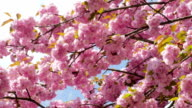 Sacura Blossom Multiple Branches video