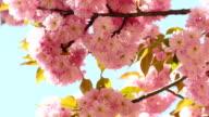 Sacura Blossom on Blue Sky Background video