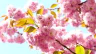 Sacura Blossom on Summer or Spring Sunshine Sky Background video