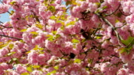 Sacura Blossom Pan Shot video