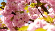 Sacura Blossom Shallow Dof video