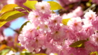 Sacura Blossom With Green Leaves Extreme Closeup video