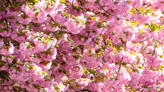 Sacura Japanese Cherry Blossom video